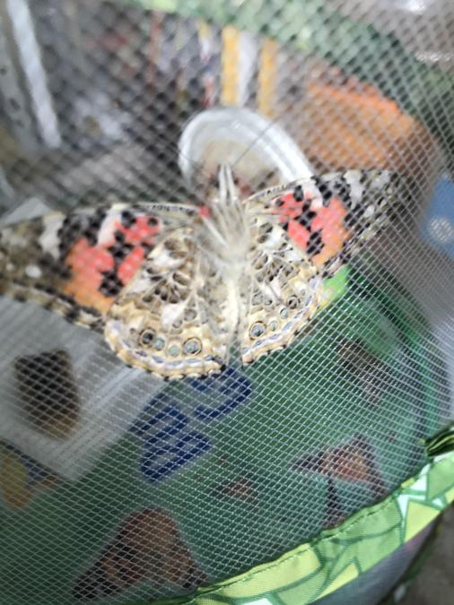 Henry's butterflies ready for release!