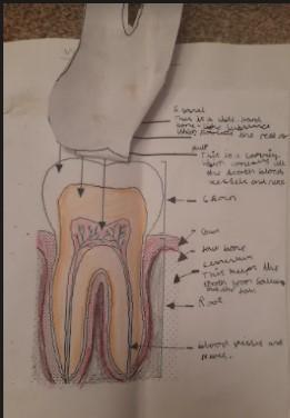 Paige - Cross Section of a Tooth