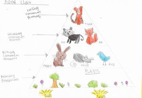 Evelyn's food chain/web