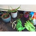 Planting baby Aloe Vera plants.