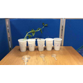 This week we finished our science experiment by looking at whether our beans had grown.