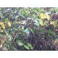 We found blackberries!