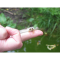 froglets returned to their pond home