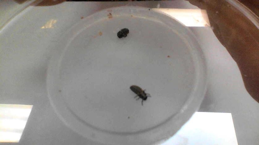 one pupa one larva