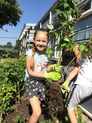 Bella transferring her magnificent raspberry bush!