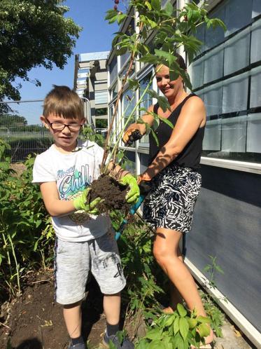 Sam transferring his giant raspberry bush!