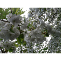 The wild cherry trees are in blossom.