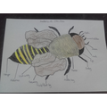 Thomas's diagram of a bee