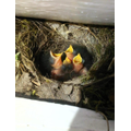 Robins in Olivia's garden