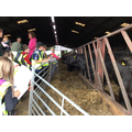 The barn is full of Aberdeen Angus cows.