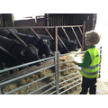 Stare off - cows versus child.