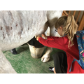 We decided to practice milking on a pretend cow.  It seemed less er er 'kicky'...