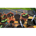 Pumpkin plants start to grow 6th July 2017.jpg