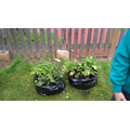 See how much our potatoes have grown