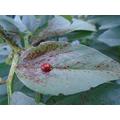 Ladybird ladybird fly away home.JPG