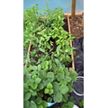 3rd August Strawberry plants and chillis.jpg