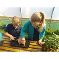 Children in Year 3 prepare trays for tomato plants