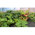 29th August polytunnel overrun by pumpkins