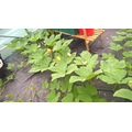 Pumpkins growing across polytunnel September 2017