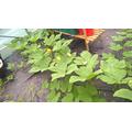 Pumpkins growing across polytunnel September 2017