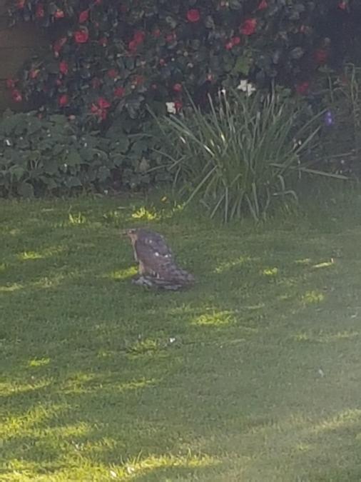 Mrs White's sparrowhawk