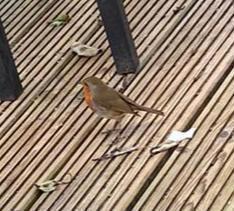Miss King's robin