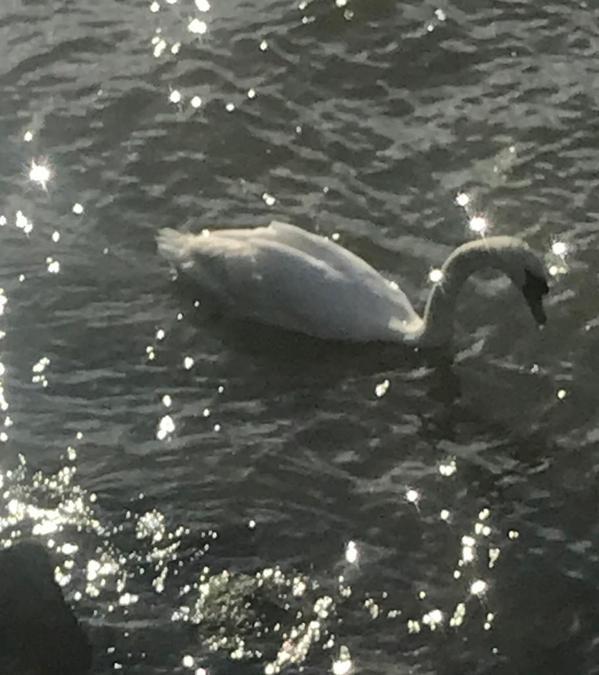 Mrs Lowe's swan