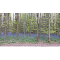 Alix - bluebell wood