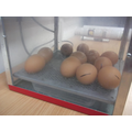 Eggs in the incubator.