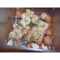 Nearly all hatched. Welcome to the world chicks