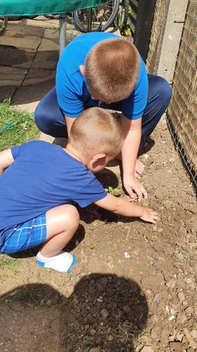 ZS planting sunflower seeds