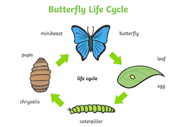 Butterfly Lifecycle