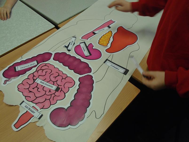 The human digestive system jigsaw puzzle.