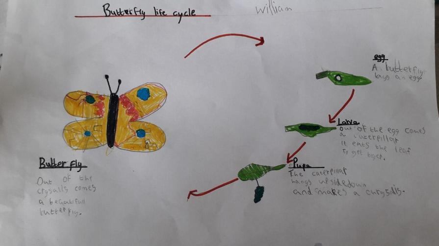 William has researched caterpillar life cycles