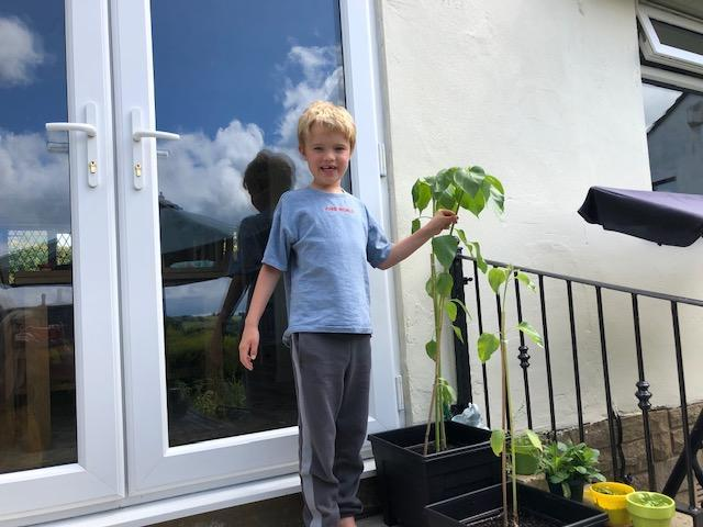 Jack's sunflower is nearly as tall as him!