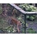 Dexter found the tigers on the Edinburgh Zoo cam!