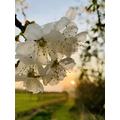 Blossom at Sunset