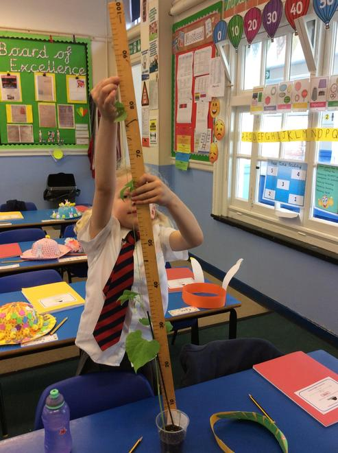 Emily's uses a metre stick to measure our bean plant, it is 85cm long
