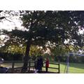 A huge Oak tree!