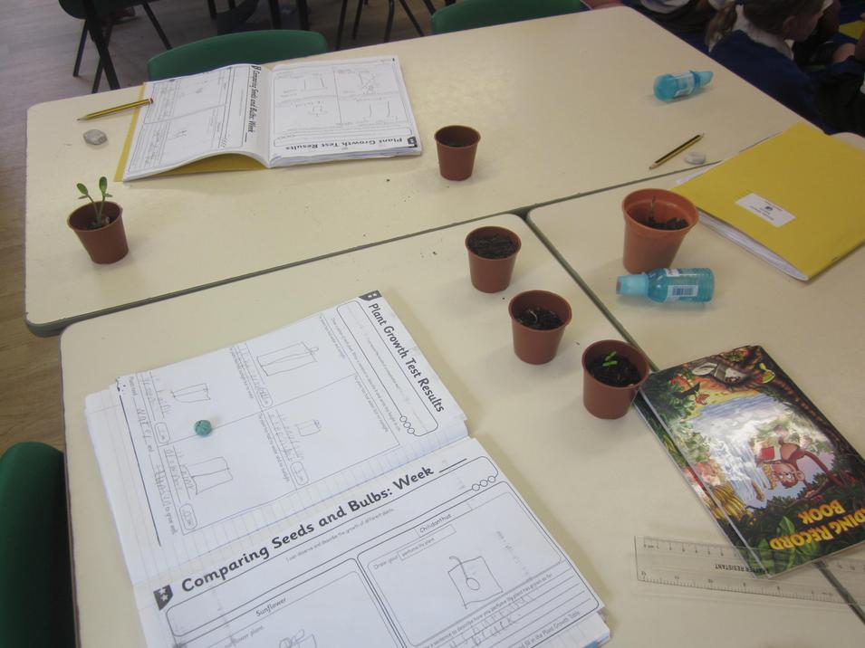 We compared the plants after a few weeks of growing.
