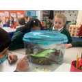 Looking at giant African land snails