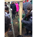 We planted an Oak and a Silver Birch.