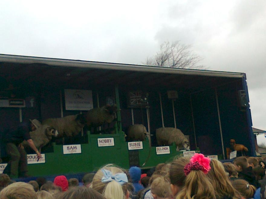 The amazing dancing sheep!
