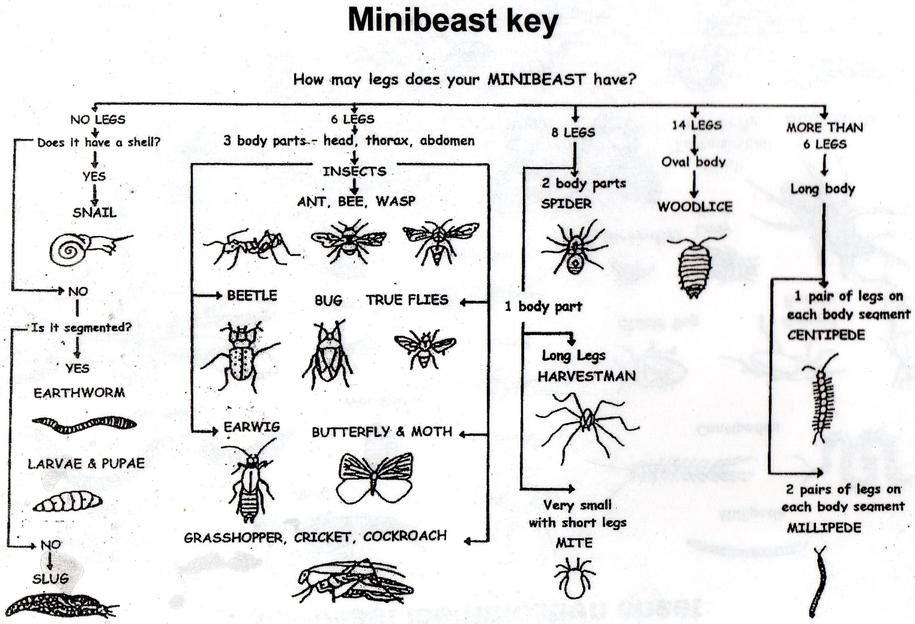 Mini-beast Key: Flow chart to work out which type of minibeast you have
