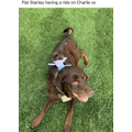 Flat Stanley having a ride on Charlie the dog