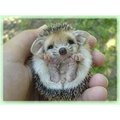 A pygmy hedgehog