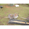 Wallabies from down under.