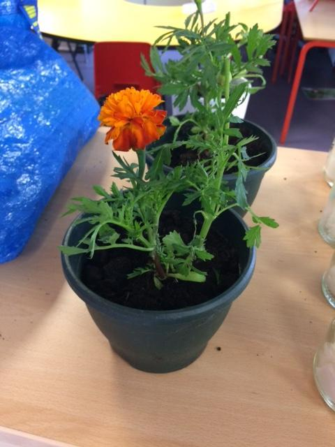 A Marigold plant