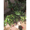 Daisy Gardening