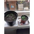 Georgia's seedlings.jpg
